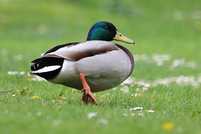 duck-1386067_640